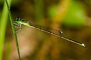 Furtive Forktail (Ischnura prognata) - male<br /> United States: Louisiana: Rapides Parish<br /> Brown Creek @ Brown Creek Rd.<br /> Evangeline Unit of Kistatchie National Forest<br /> 31-Mar-2017<br /> J.C. Abbott #2915