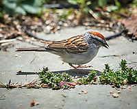Chipping Sparrow. Image taken with a Nikon D5 camera and 600 mm f/4 VR lens (ISO 220, 600 mm, f/5.6, 1/1250 sec)