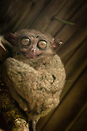 Philippines, Bohol. Tarsier, one of the smallest primates, famous especially in Bohol island area.