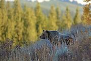 Grizzly Bear in Autumn Habitat