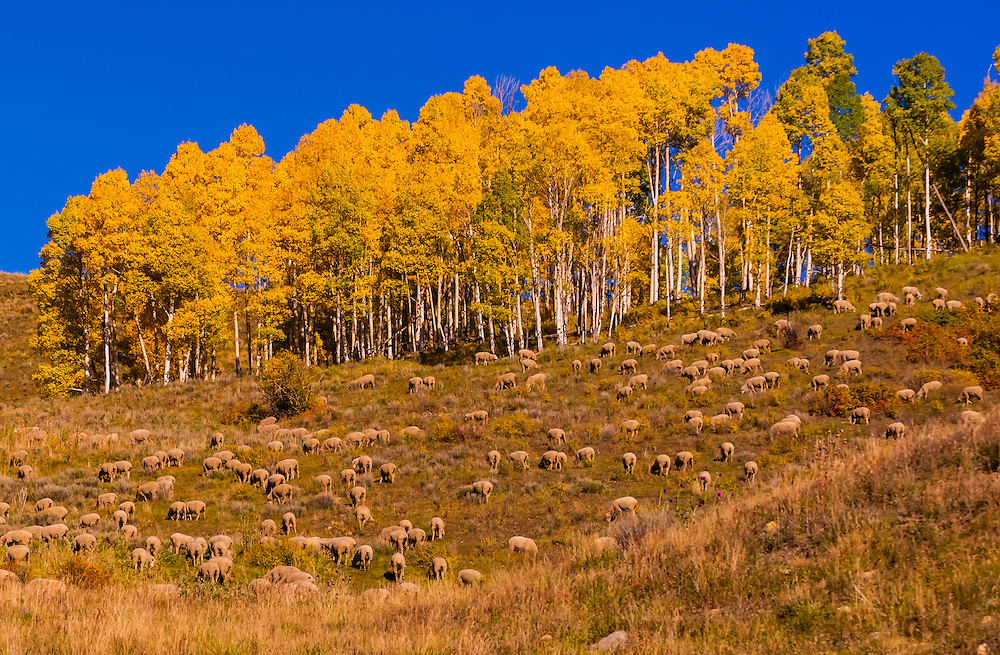 Sheep, Last Dollar Road, San Juan Mountains near Telluride, Colorado USA.