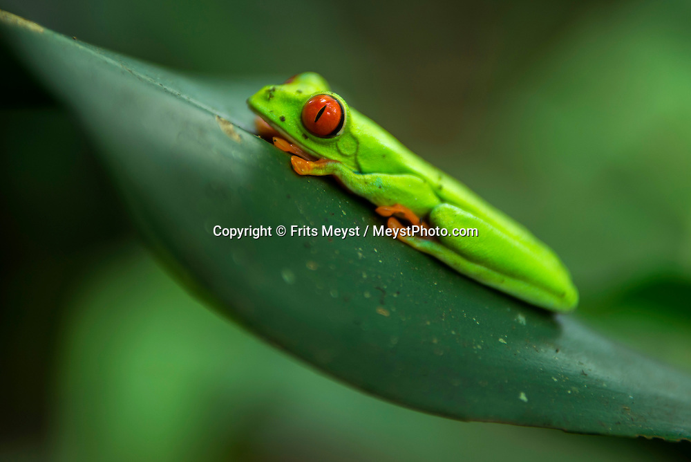 Matagalpa, Nicaragua, May 2014. A frog in the forest. Matagalpa tours offers trips to coffee plantations and remote villages, rural community tourism, agro-tourism, hiking and biking. Central America's largest and least populated country consists of lakes; volcanoes and Spanish colonial cities. Photo by Frits Meyst / MeystPhoto.com