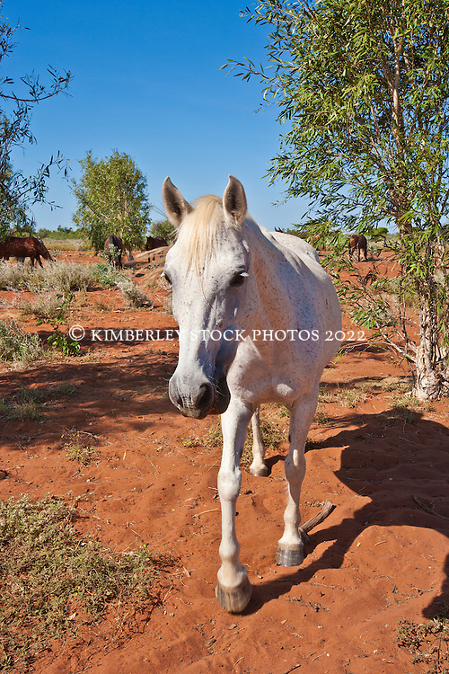 Grey horse on Mandora Station.