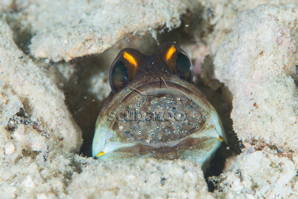 Jellowbarred Jawfish, Opistognathus sp, with a mouth full of eggs, Mabul, Sabah, Malaysia, Borneo, Celebes Sea,