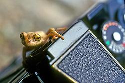 Perereca sobre uma maquina fotografica.  A perereca (tambem conhecida como rela) e um anfibio anuro da familia Hylidae.  /  .Tree frog on a camera. The tree frog is an amphibious anuro the family Hylidae..Foto ©Marcos Issa/Argosfoto