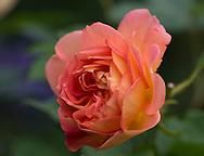 Rosa at Wollerton Old Hall, Wollerton, Market Drayton, Shropshire, UK