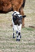 Corriente Calves