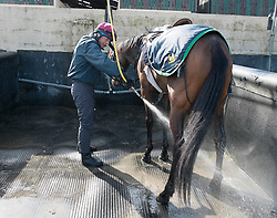 © Licensed to London News Pictures. 22/03/2014<br /> <br /> Middleham, North Yorkshire<br /> <br /> Race horses are washed after exercising at the Mark Johnston stables in Middleham, North Yorkshire. Race horses have been trained in Middleham for over 200 years using the extensive gallops on the high moor. There are currently 15 stables based around the small Yorkshire village.<br /> <br /> Photo credit : Ian Forsyth/LNP