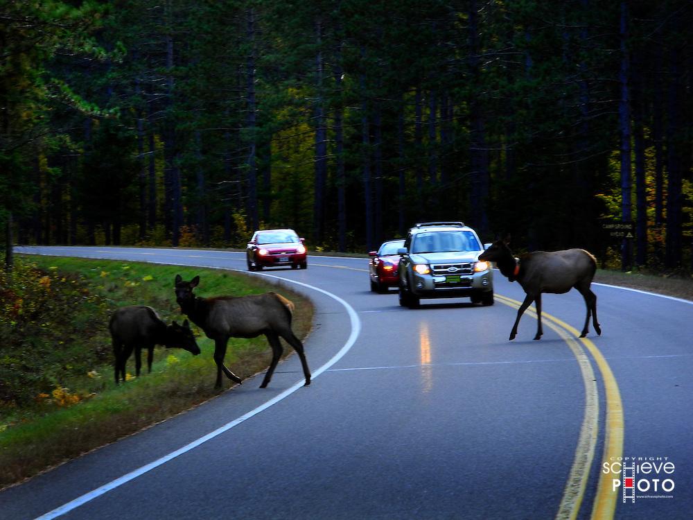 Elk crossing a highway near Clam Lake, Wisconsin.