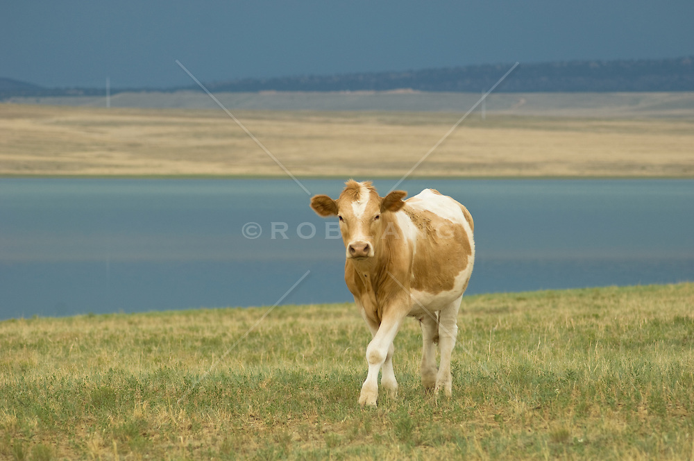 cow beside a high desert lake walking towards camera