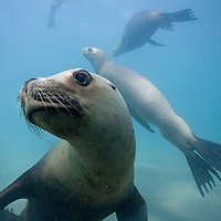 Argentina, Chubut Province, Puerto Piramedes, Underwater view of Southern Sea Lions (Otaria byronia) in shallow bay along Peninsula Valdes in Atlantic Ocean coastline