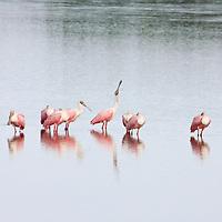 Roseate Spoonbills resting in water