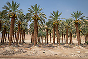 Desert Agriculture. Palm tree plantation Photographed in the Dead Sea region, Israel