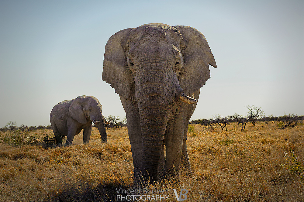 A vide angle view of an elephant in Etosha National Park, Namibia