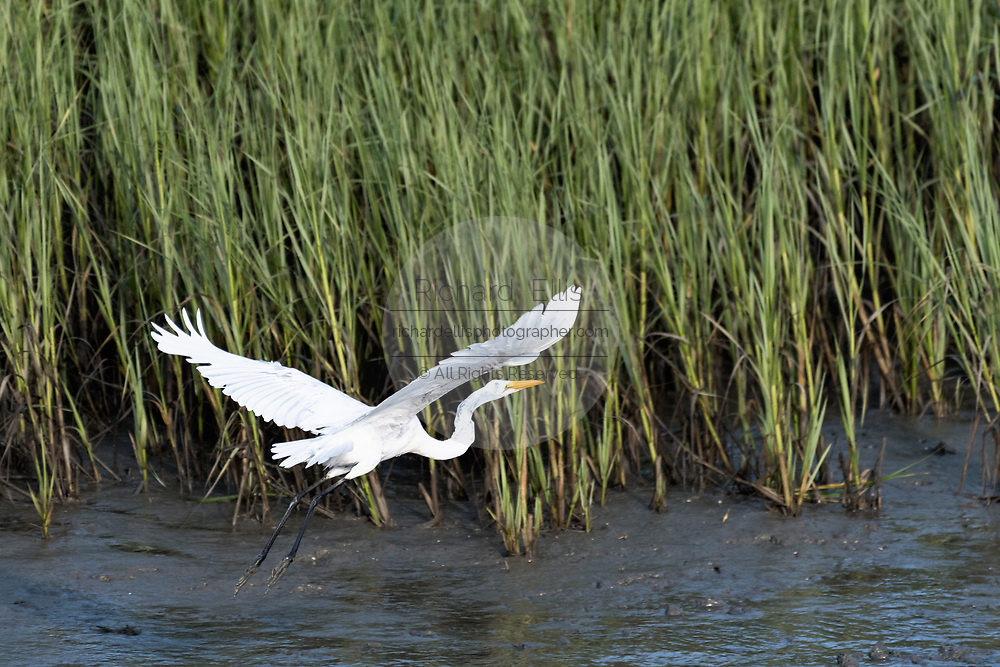 A great egret also called a great white heron lands in the salt marshes of the Cape Romain National Wildlife Refuge near Charleston, South Carolina. The 66,287 acre National Wildlife Refuge encompass water impoundments, creeks, bays, emergent salt marsh and barrier islands most of which is only accessible by boat.