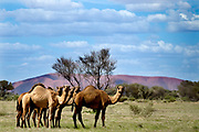 Feral camels graze in Uluru-Kata Tjuta National Park, near Mutitjulu in the Northern Territory, Australia. The Australian government has committed $19 million to cull feral camels because they compete with sheep and cattle for food, crush vegetation and invade remote settlements in search of water. There are about one million feral camels throughout Australia, with numbers doubling every eight or nine years.