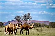 Feral camels graze in Uluru-Kata Tjuta National Park, near Mutitjulu in the Northern Territory, Australia.