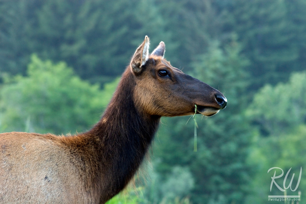 Roosevelt Elk (Cervus canadensis) Grazing Grass, Prairie Creek State Park, California