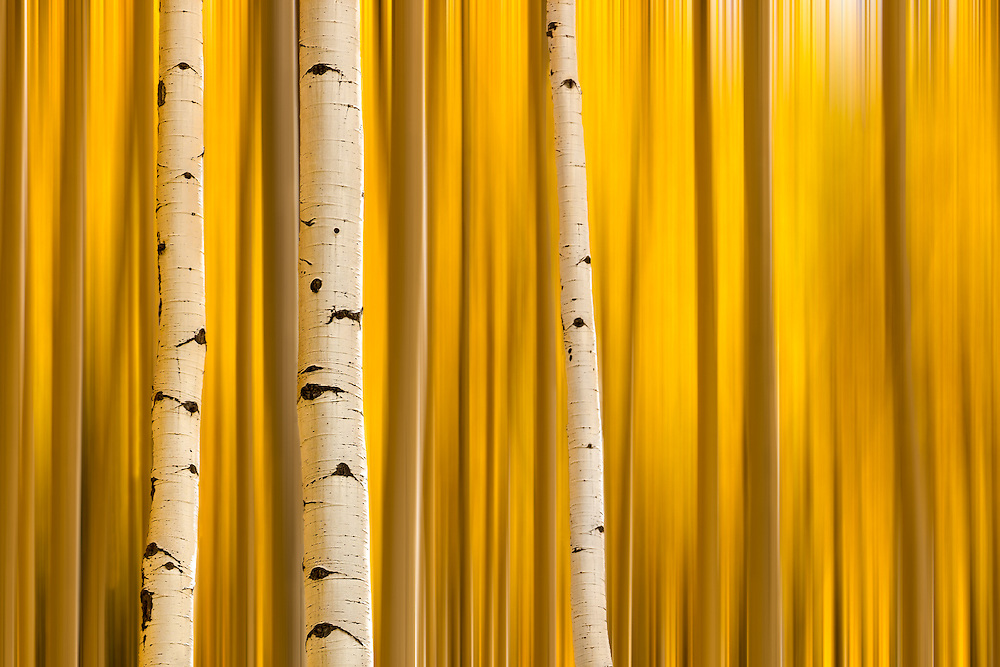 Autumn color displayed in a golden abstract of Aspen trees near Aspen, Colorado.