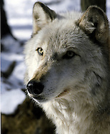 North American Wolf