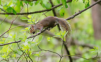 Squirrel With an Acorn in a Tree. Image taken with a Nikon D3s and 300 mm f/2.8 VR lens (ISO 640, 300 mm, f/2.8, 1/1000 sec)