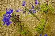Close up of a purple flower On the Greek Island of Cephalonia, Ionian Sea, Greece