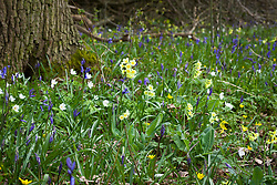 Oxlips, bluebells, celandines and wood anemones growing wild in Hayley Wood, Cambridgeshire. Primula elatior, Anemone nemorosa, Hyacinthus non-scripta
