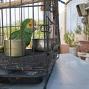 A yellow-shouldered amazon parrot kept as a pet by a family on Bonaire. This parrot is one of very few legal pet parrots remaining on the island. In 2002, an innovative program was introduced on Bonaire to register all pet parrots on the island and to give them a ring. There was a short period of the time when parrots could be registered and their owners would be given amnesty. Pet parrots were often kept in small cages like this, which does not give the bird room to fly or exercise. Captive conditions.