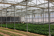 Bok choy growing at The Sahara Forest Project on the outskirts of Aqaba, on Jordan's southern Red Sea coastline. The farm uses desalinated sea water and greenhouses to sustainably farm crops in land that was once aris desert.