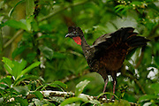 Crested Guan (Penelope purpurascens), La Selva Biological Station, Costa Rica | Rostbauchguan (Penelope purpurascens), Biologische Forschungsstation La Selva, Costa Rica, Costa Rica