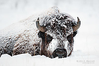 Bison, Yellowstone National Park, USA