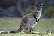The Kangaroo Island Kangaroo is a subspecies of the Western Grey Kangaroo.
