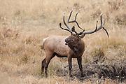 Bugling bull elk during the autumn rut in Wyoming