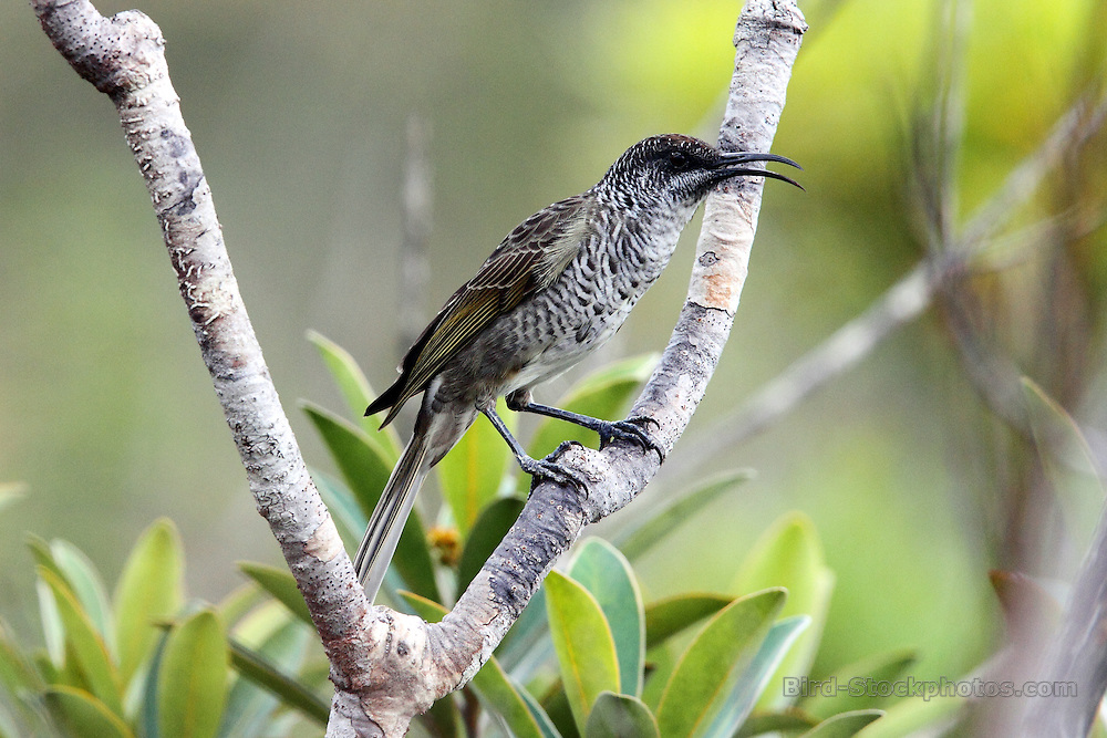 Barred Honeyeater, Glycifohia undulata, Riviere Bleue National Park, New Caledonia, endemic, by Adam Riley