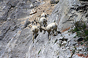 Mountain Sheep with molting winter coats navigate the sheer face of a cliff in Jackson Hole.