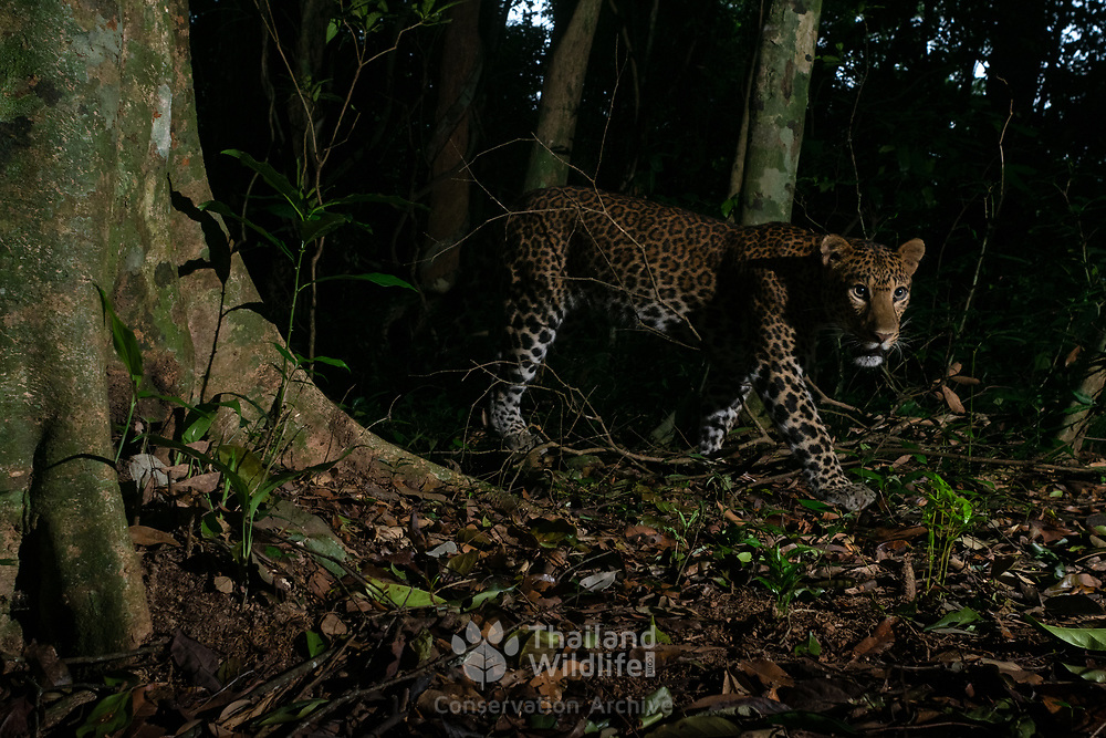 Male Indochinese leopard (Panthera pardus delacouri), also known as South-Chinese leopard.