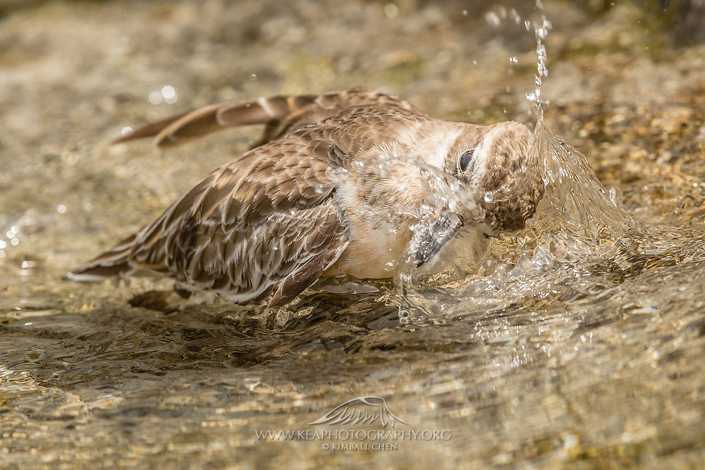 An endangered New Zealand Dotterel taking a bath and dipping its head into fresh water.