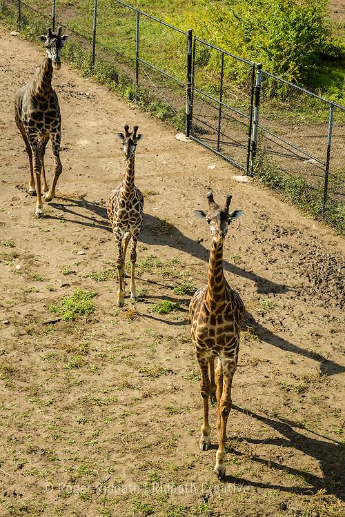 Masai Giraffe running at Kansas City Zoo