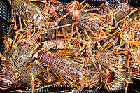 West Coast Rock Lobsters as part of the daily bag limit for small-scale subsistance fishers. Kleinmond. South Africa.