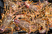 West Coast Rock Lobster Fishery