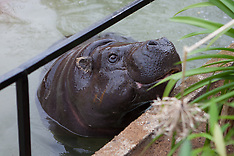 APR 03 2014 ZSL London Zoo unveils new pygmy hippo home in Into Africa