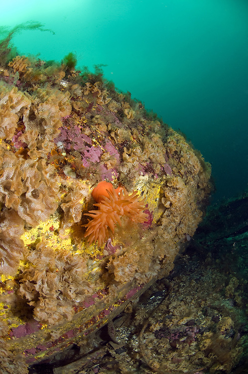 Sea anemone (Urticina eques). Location : Stavanger, Norway