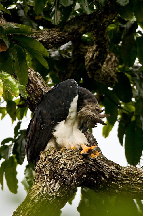 Parauapebas_PA, Brasil..Harpia (Harpya harpyja) em castanheira (Bertholletia excelsa) na floresta amazonica, Para...Harpy (Harpy harpyja) in  brazilian walnut (Bertholletia excelsa) in the Amazon forest in the Floresta Nacional de Carajás, Para..Foto: JOAO MARCOS ROSA / NITRO
