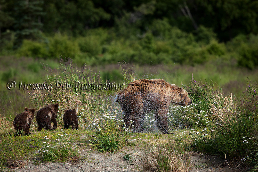Spring cubs follow thier mother as she shakes off the water from fishing in Brooks River, Katmai National Park, Alaska