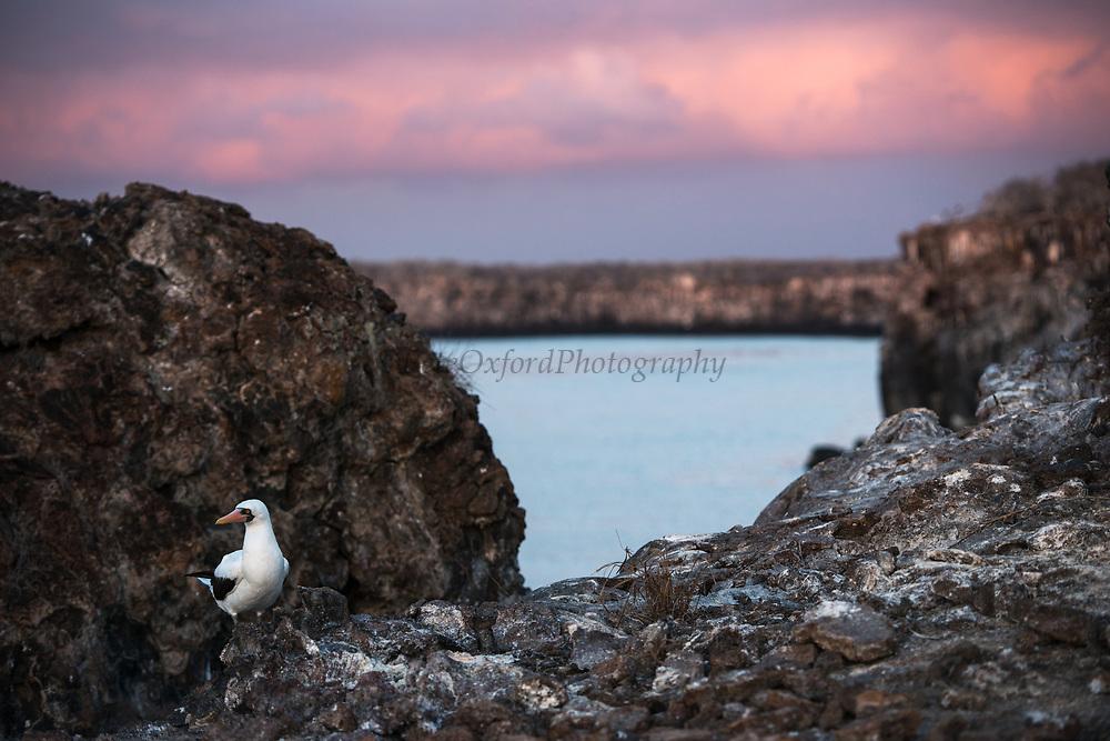 Nazca booby (Sula granti)<br /> Tower Island<br /> GALAPAGOS,  Ecuador, South America