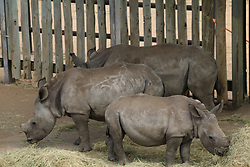 February 15, 2016 - Kwazulu-Natal Provinz, South Africa - Rhinos recuperate in the rhinoceros orphanage in the Hluhluwe-Imfolozi Park located in KwaZulu-Natal province, South Africa, 15 February 2016. Photo: STUART GRAHAM/dpa (Credit Image: © Stuart Graham/DPA via ZUMA Press)