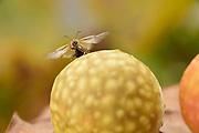 Common oak gall wasp (Cynips quercusfolii) are dropping in autumn with the leaves to the ground. Gall wasp is emerging from the oak gall. The Biosphere Reserve 'Niedersächsische Elbtalaue' (Lower Saxonian Elbe Valley), Germany | Die Gallen der Gemeinen Eichengallwespe (Cynips quercusfolii)  fallen im Herbst mit den Blättern zu Boden. Dort schlüpft dann aus jeder Galle jeweils eine weibliche Wespe (dies ist die eingschlechtliche Generation). Diese Weibchen legen dann an einer Eichenknospe die Eier für die kommende bisexuelle Genaration, aus der dann im Mai männliche und weibliche Tiere schlüpfen. Die begatteten Weibchen legen später auf Blättern wieder Eier, die dann die hier gezeigte Galle noch im selben Jahr entstehen lassen.