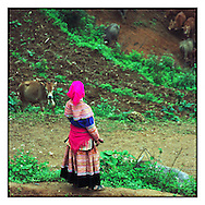 Hmong woman watching over a herd of cows near Can Cau market, Bac Ha area, Vietnam, Southeast Asia