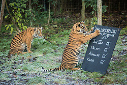 © Licensed to London News Pictures. 03/01/2017. London, UK. Karis (L) watches on as her brother, Achilles (R), both Sumatran Tiger cubs, attacks the stocktake board at the London Zoo annual stocktake. Photo credit: Rob Pinney/LNP