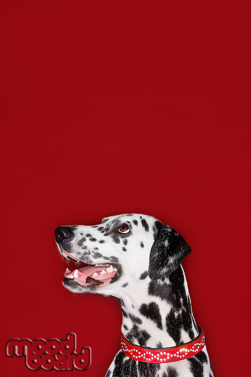 Dalmatian sitting looking up mouth open head and shoulders